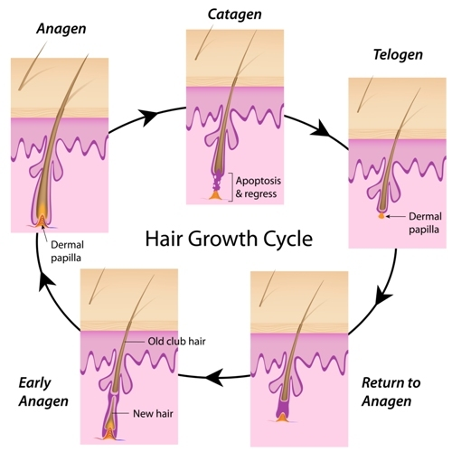 Hair Loss Phases Anagen Catagen Telogen