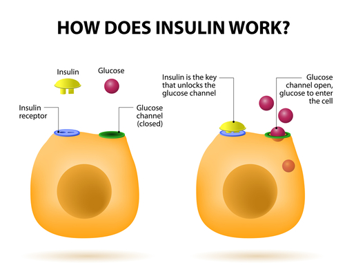 Illustration of  how Insulin works in organism