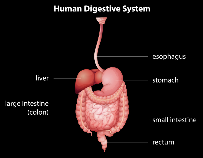 Illustration of human digestive syste,