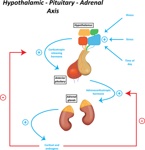 Illsutration of HPA Axis