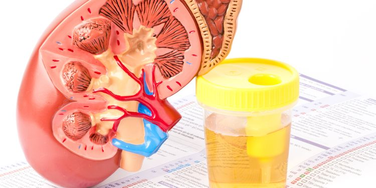 Image of cross section of a kidney next to a urine jar