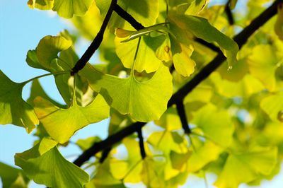 Yellow And Green Ginkgo Biloba Leafs