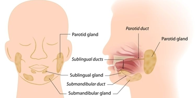 Illustration of salivary glands