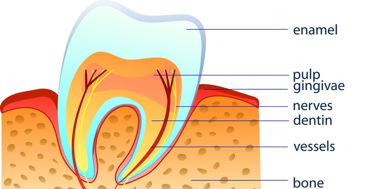 Illustration of a healthy tooth structure