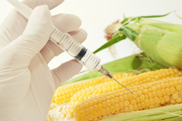 Photo of a GMO Corn being injected with syringe