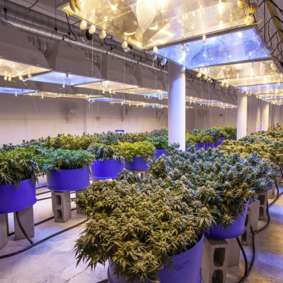 commercial-cannabis-grow