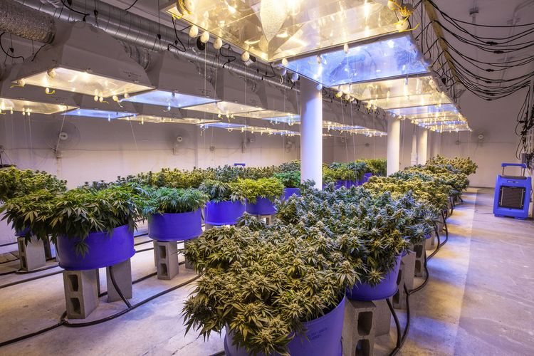 Commercial Cannabis Grow