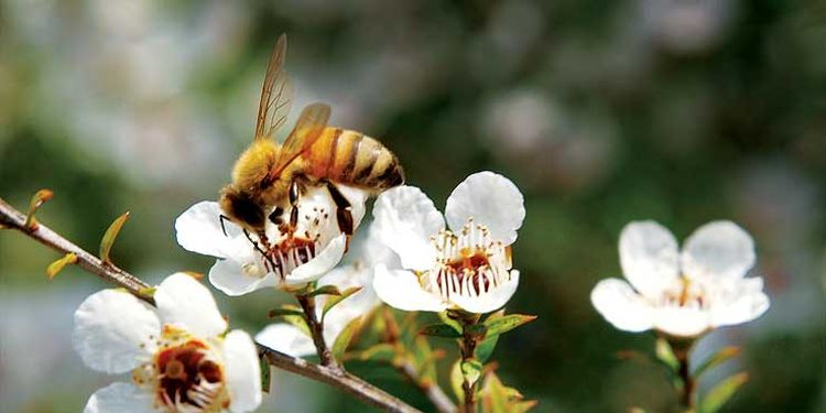 Photo of a bee on white manuka flower