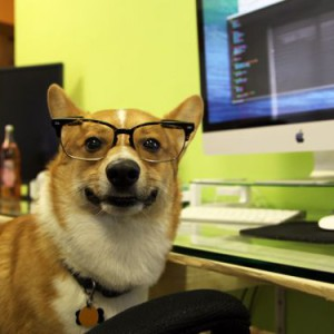Photo of corgi dog with glasses sitting in an office