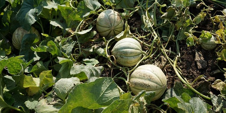 Photo of cantaloupes in the field