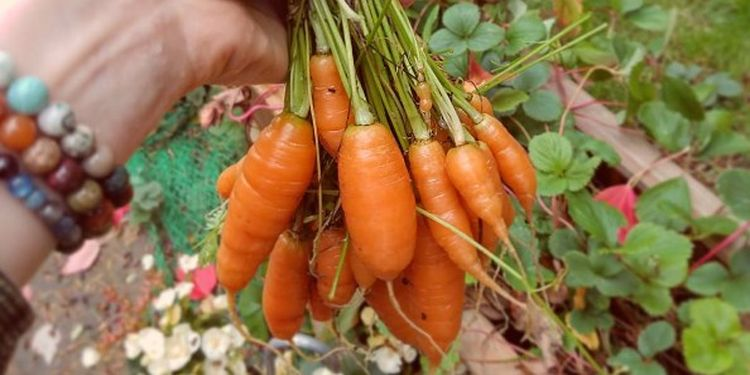 Image of small carrots