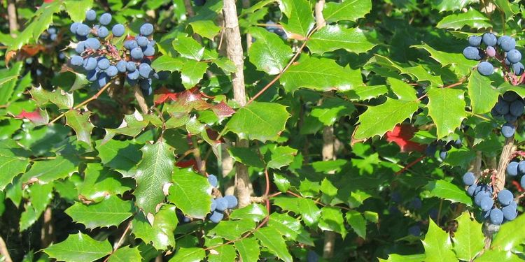 Photo of oregon grape tree with fruits