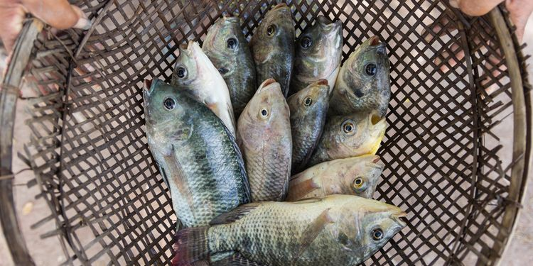 Photo of tilapia fishes in hand of farmer for send to fresh market
