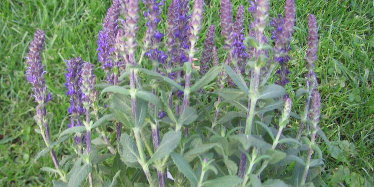 Photo of clary sage herb