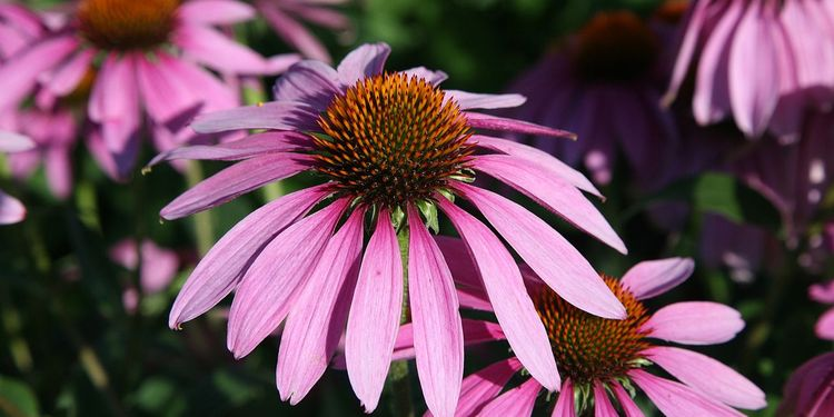Photo of Echinacea Purpurea, Purple Coneflower
