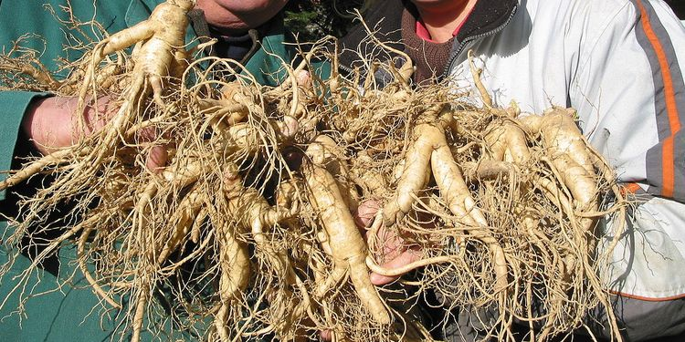 Photo of bunch of Ginseng roots
