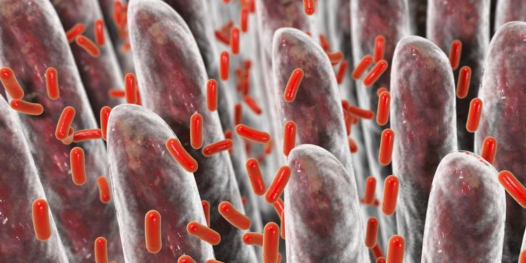 3D Illustration of good gut bacteria on a gut wall