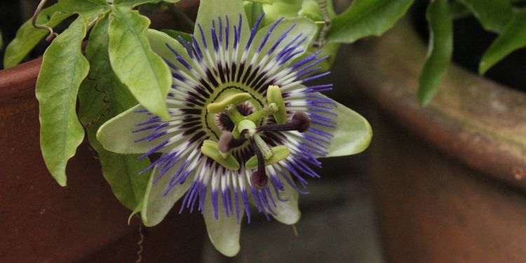 Photo of Passion Flower