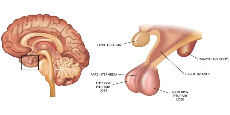 Illustration of pituitary gland