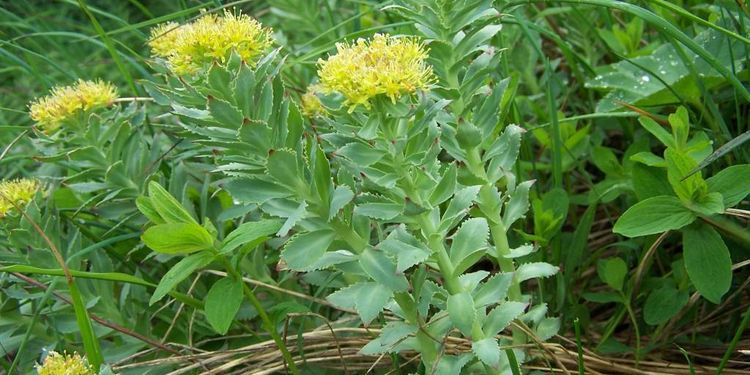 Photo of Rhodiola rosea