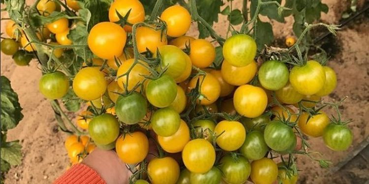 Image of yellow tomatoes used to make healthy home-cooked meals