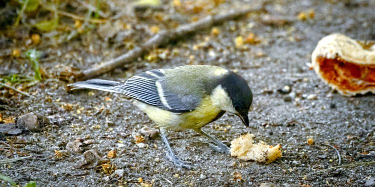 Photo of a small bird eating crumbs of junk food on ground