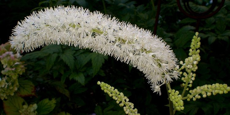 Photo of Black Cohosh flower
