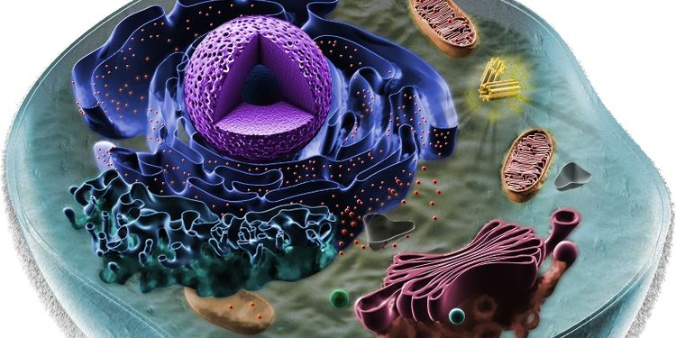 3D illustration of an eukaryiotic cell