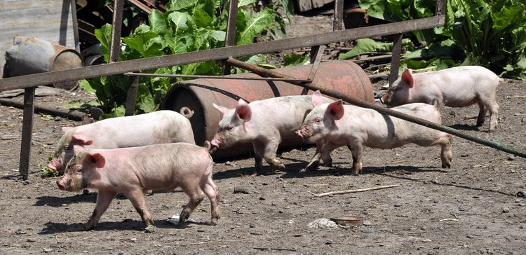 Photo of pigs running at the livestock farm