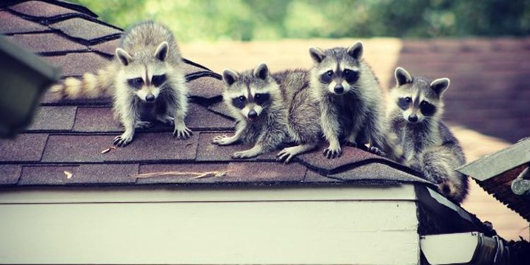 Image of four raccons on the roof
