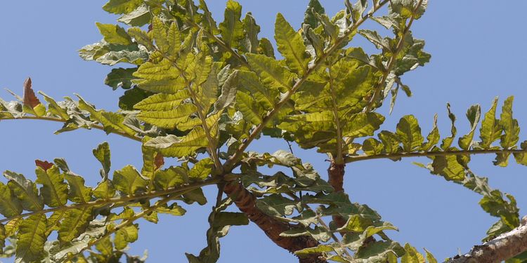 Photo of Boswellia Serrata in nature, plant that fights inflammation