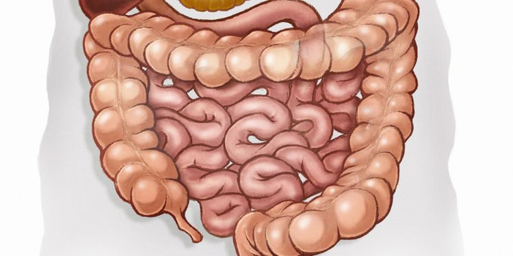 Image of human gut
