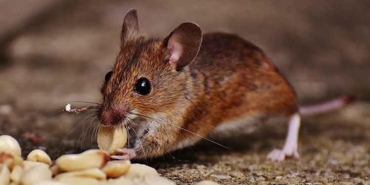 Photo of small mouse chewing foods
