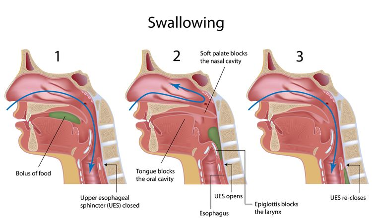 Illustration of swallowing process as part of digestion