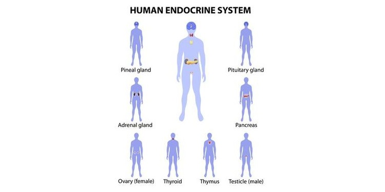 Illustration of position of human endocrine glands