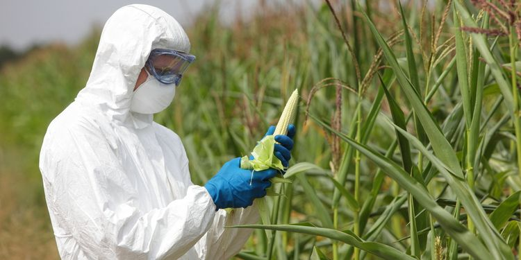 Photo of scientist in hazard suit examining GMO corn