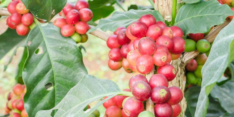 Photo of coffee fruit