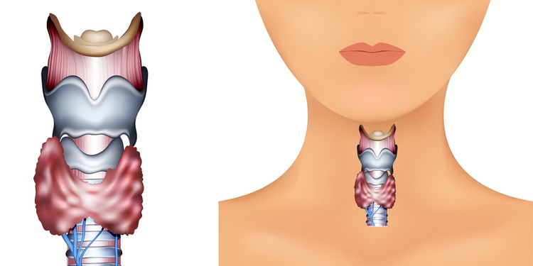 Illustration of thyroid gland
