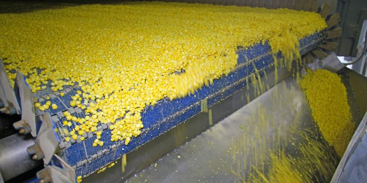 Photo of a corn processed at factory. Refined Foods Root Cause Of mitochondrial dysfunction