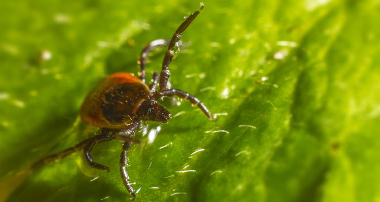 Photo of a tick on a leaf - lyme disease vector