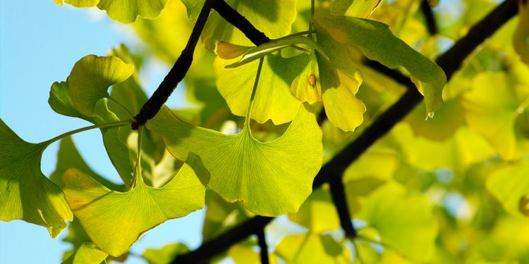 Photo of Gingko Biloba Leaves that Improve Cognition and Motivation